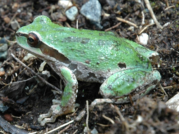 Pacific Tree Frog.