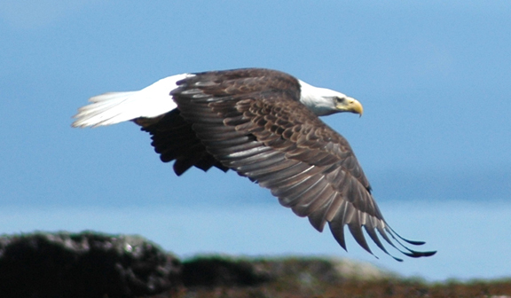 Photo1: Bald Eagle in flight. Bald Eagles are a common sight on Vancouver