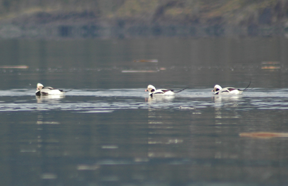 Long-tailed Ducks in Winter Plumage