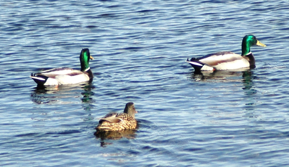 Mallards, both male and female