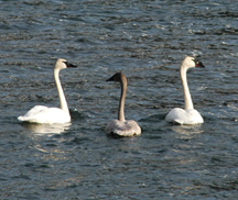 Trumpter Swans at Buttle Lake.