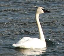 Trumpeter Swan in winter nesting grounds.