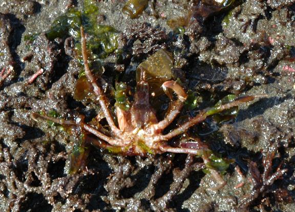 Graceful Decorator Crab Oregonia Gracilis