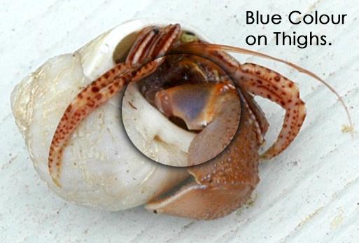 Widehand Hermit Crab