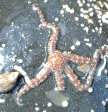 Daisy Brittle Star Under Rock.