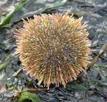 Green Sea urchin grazing on seaweed.
