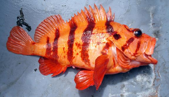 tiger rockfish sebastes nigrocintus