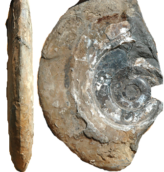 Side view of ;flying saucer' ammonite.