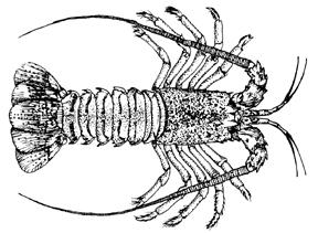 Illustration of modern day spiny lobster.