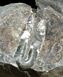 Polyptychoceras in concretion.