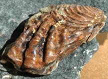 Sphenoceramus elegans