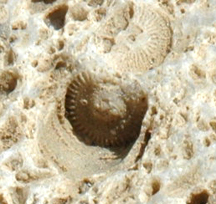 Close up of crinoid stem disc.