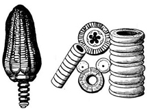 illustration of crinoid stems.