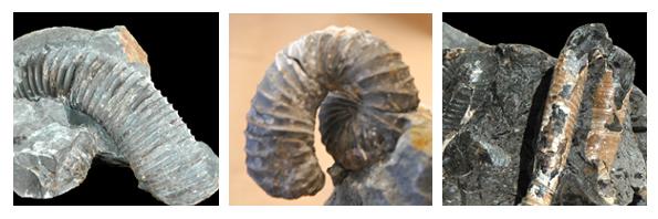 Hetermorph Ammonites on Vancouver Island.