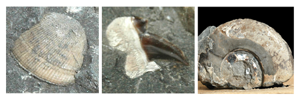 Crteaceous Fossils from Vancouver Island: A clam, a shark's tooth, and an ammonite.