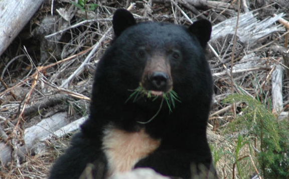 A Black Bear Eating Grass.