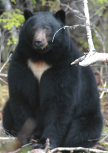 Black bear displaying white chevron.