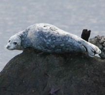 Pacifc Harbor Seal sunbathing on a rock at low tide.