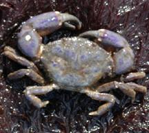 Black-clawed Crab: Purple variation.
