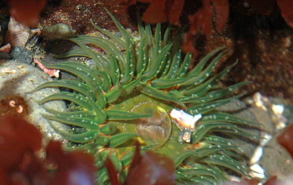 Pacific Northwest: Green Burrowing Anemone