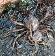 Two kelp crabs.