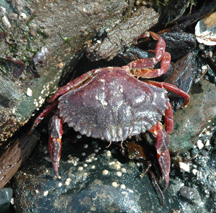 Red rockl crab coming out from hiding.