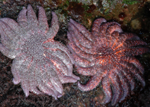 A pair of sunflower stars.
