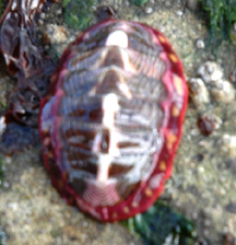 Lined Chiton.