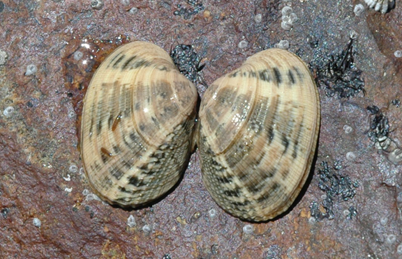Manilla Clam/Japanese Littleneck Clam