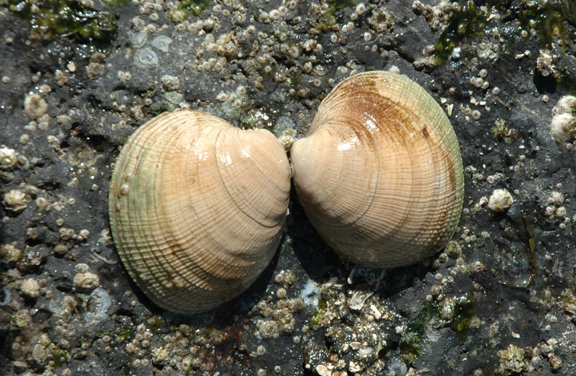 Pacific Littleneck Clam