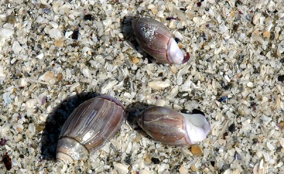 Purple Olive Shells
